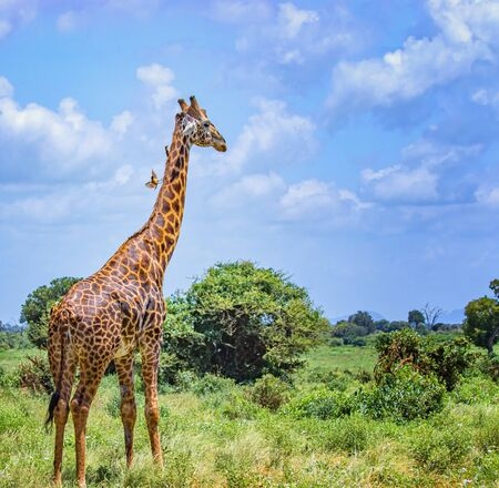Giraffe standing in tall grass in Tsavo East National Park, Kenya. She has small birds on his neck. Hiding in the shade under high trees. It is a wild life photo. Imagens