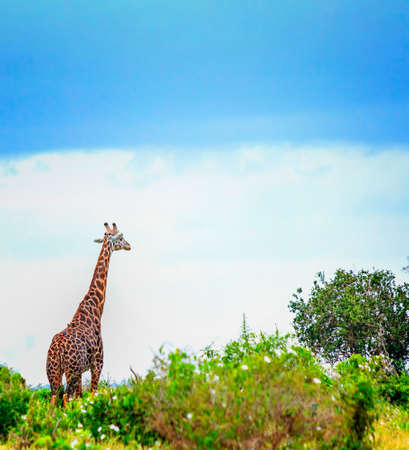 Giraffe standing in tall grass in Tsavo East National Park, Kenya. She has small birds on his neck. Hiding in the shade under high trees. It is a wild life photo. Summer day. Imagens