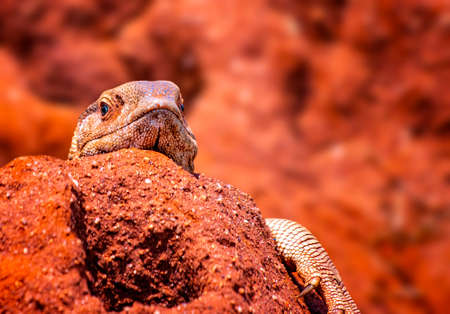 A giant agama lizard is hiding in a hole in a large termite mound. It is in Tsavo East National Park, Kenya, Africa. It i sunny day.