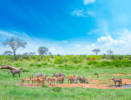 Zebras and antelopes graze together at a watering hole in Tsavo East National Park in Kenya. It's on safari in Africa. The grass is green and the sky is blue. It is a beautiful day.