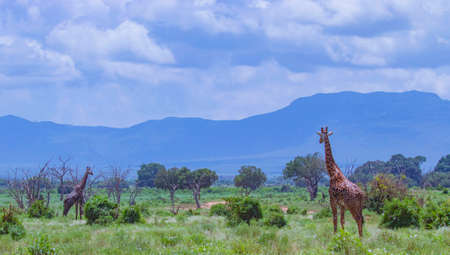 Giraffe standing in tall grass in Tsavo East National Park, Kenya.Kilimanjaro is in the background. It is a wild life photo.
