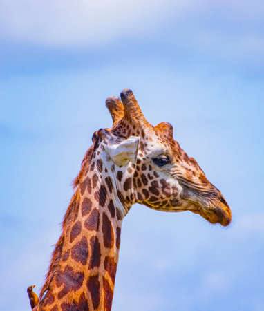 The head of Giraffe with bird. It is a wild life photo in Tsavo East National Park, Kenya. It is a close up photo. Blue sky is in the background. Imagens