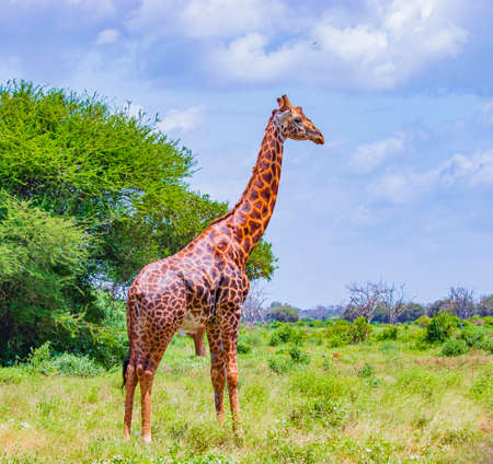Dark Giraffe stands among the trees Tsavo East National Park, Kenya. It is a wild life photo.