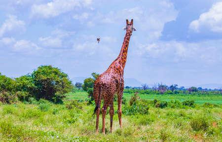 Giraffe standing in tall grass in Tsavo East National Park, Kenya. The bird flies on a giraffe. It is a wild life photo.