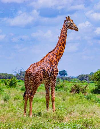 Giraffe standing in tall grass in Tsavo East National Park, Kenya. Birds sitting on the neck of a giraffe. It is a wild life photo. Banco de Imagens