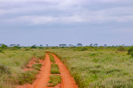 A tree by a dirt road inside Tsavo East National Park in Kenya. There are nests of wild birds on it. The way leads to the territory of lions.