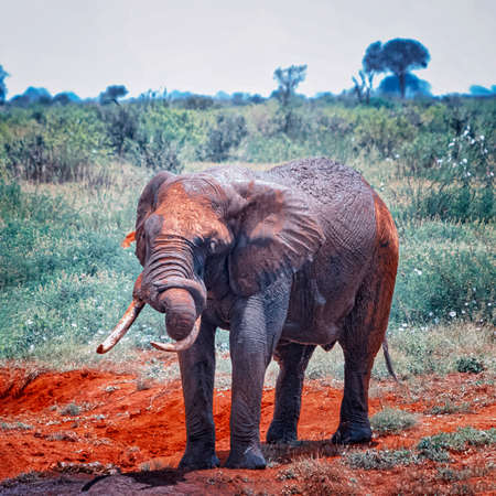 Close up photo of red African elephant with a tangled trunk in Africa. It is a wildlife photo of Tsavo East National park, Kenya. Banco de Imagens