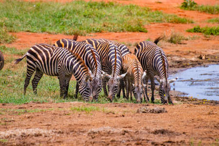 Group of Grevys zebras stands by the pond. It is a wildlife photo in Africa, Kenya, Tsavo East National park.