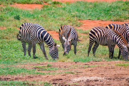 Group of Grevys zebras graze on the plains of Africa. It is a wildlife photo in Tsavo East National park, Kenya.