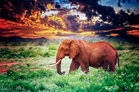Close up photo of red African elephant in Africa. It is a wildlife photo of Tsavo East National park, Kenya. In the background are the mountains and Mount Kilimanjaro and the sunset.