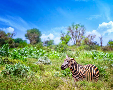 Grevys zebra stands in the tall grass and sticks his tongue out. It is a wildlife photo in Africa, Kenya, Tsavo East National park. Banco de Imagens