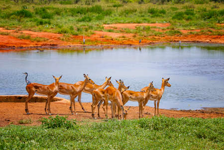 A herd of antelopes at a waterhole in Tsavo East, Kenya. It is a wildlife photo from Africa. Banco de Imagens