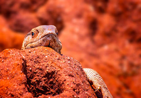 Close up photo of big colored lizard, rock agama. It is wildlife photo of animal in Tsavo East National Park, Kenya, Africa. Agama posing on rock against blurred background.