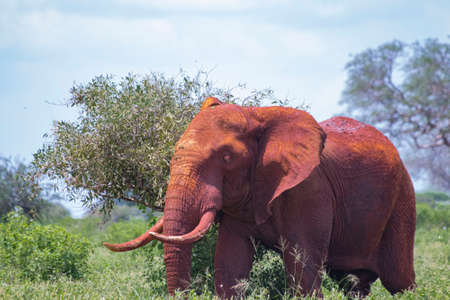 Close up photo of red African elephant in Africa. It is a wildlife photo of Tsavo East National park, Kenya.