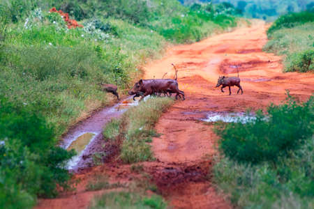 A herd of warthogs cross the road in Tsavo East, Kenya. There are little wild pigs. It is a wildlife photo from Africa. Imagens