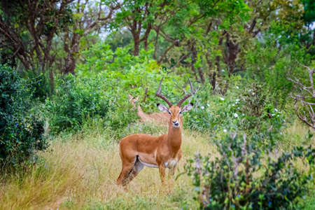 Antelope with big horns stands in the grass and chews in Tsavo East, Kenya. It is a wildlife photo from Africa Banco de Imagens