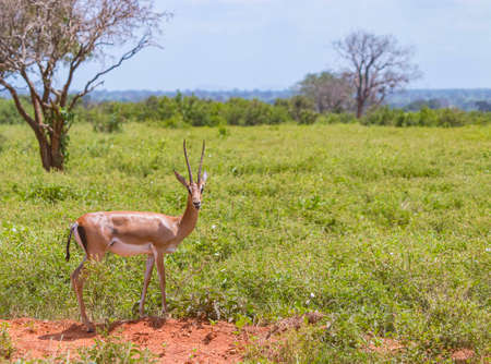 Antelope with big horns stands in the grass and chews in Tsavo East, Kenya. It is a wildlife photo from Africa.