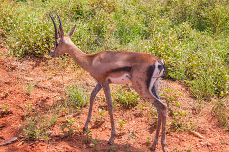Small antelope stands in the grass in Tsavo East, Kenya. It is a wildlife photo from Africa. Imagens
