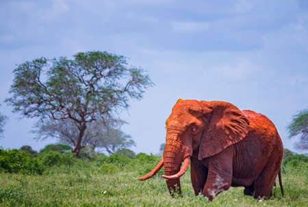 Close up photo of red African elephant in Africa. It is a wildlife photo of Tsavo East National park, Kenya. Imagens - 167110161