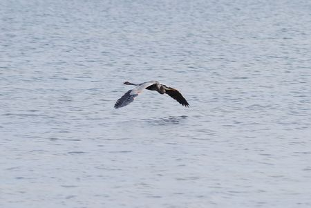water fowl: Blue Heron flying over the Indian River