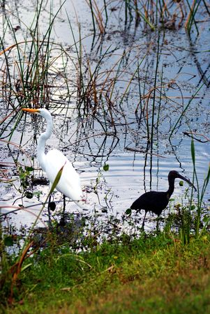 White crane and black ibis together in the water photo