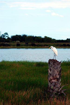 Great White Egret on a palm stump. Фото со стока