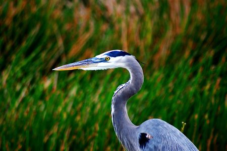 water fowl: Great Blue Heron Stock Photo