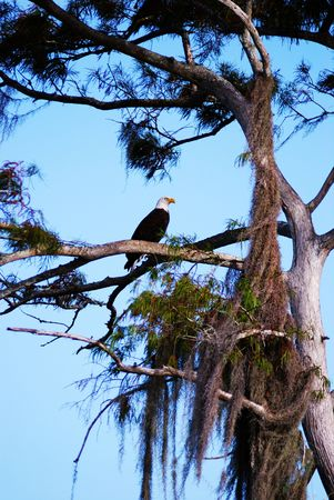 cypress tree: American Bald Eagle hunting from a cypress tree