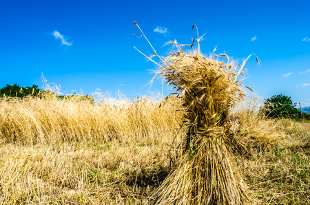 Ears of wheat grouped with field and blue sky, you notice the beauty of nature and its benevolence.