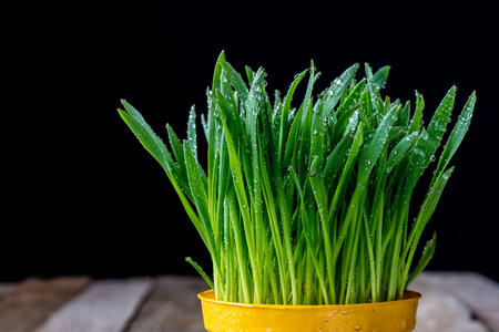 Oatmeal sprouts in a pot of watering can on an old wooden table Stock Photo