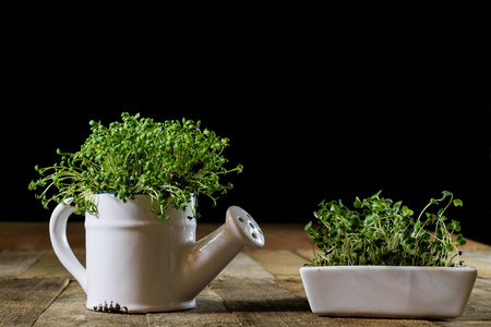 Fresh sprouts Cress. Black ground. Wooden table. Black background. Flowerpot in the shape of a watering can. Stock Photo
