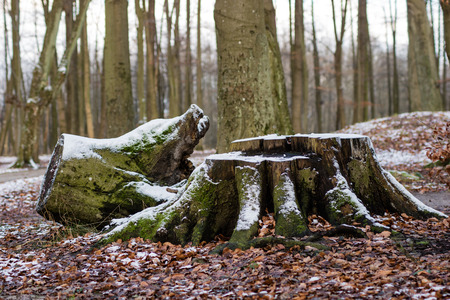 Old tree trunk in a city park. Old tree in a winter atmosphere. Forest in winter scenery