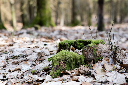 Old mossy tree trunk in a wooded area. Traces of an old logging. Season of the spring.