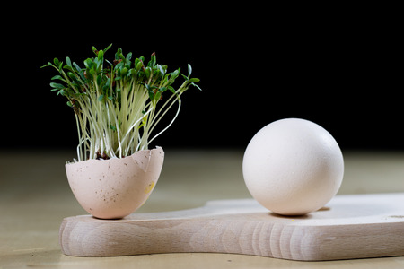 Cress sprouts on the kitchen table. Eggs and herbs in the kitchen before the holidays of the great night. Dark background.