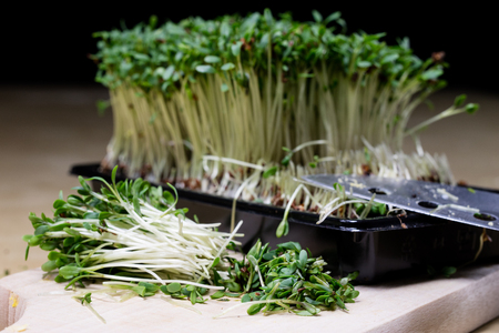 Cress sprouts on the kitchen table. Herbs cut on a wooden board in the kitchen before Easter. Dark background. Stock Photo