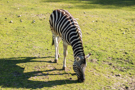 Zebra in the zoo. An African animal locked in a cage. Season of the spring. Stock Photo
