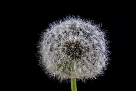 Seeds of dandelion in a close-up. Grain spread by the wind. Blowing on dandelions glad children of every generation. Season of the spring.