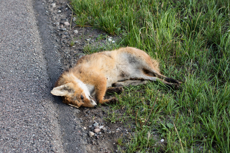 A fox killed by a car at an asphalt road. Dead forest animals by the roads. Season of the summer.