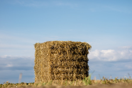 Sheaves of straw arranged in the field. Work done during harvest. Season of the summer