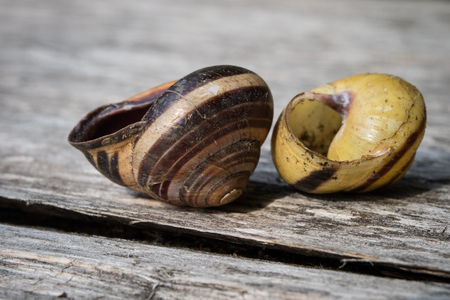Old shells on a wooden table. Shells of molluscs remaining empty. Dark background.