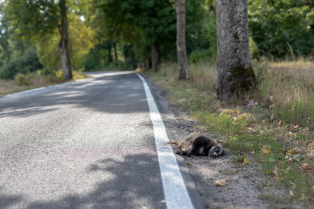 Killed raccoon at the edge of an asphalt road. Forest animals killed by car drivers. Season of the autumn. Stock Photo