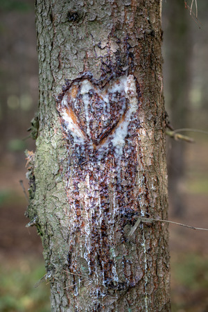 A heart cut in a spruce tree trunk. Heart dripping with resin in the spruce forest. Season of the autumn.