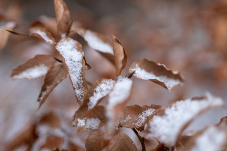 Beech tree leaf covered with snow. Fresh snow on withered leaves. Season winter.