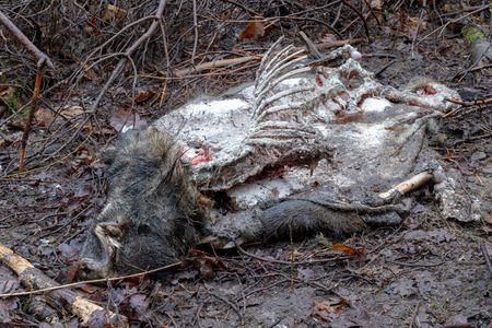 The body of a wild boar eaten by wild animals in the forest. Padlina left in the forest. Season winter.
