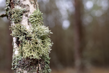 Moss and grew on the bark of birches. The bark of a birch tree. Season winter.
