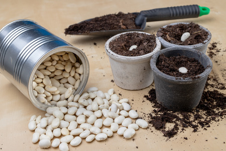 Planting of beans in small pots. Gardening work in home conditions. Light background.