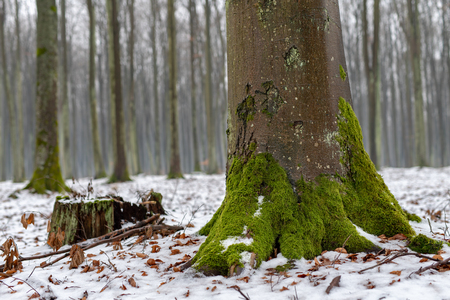 Moss on a beech tree trunk. Deciduous trees covered with snow. Season winter.