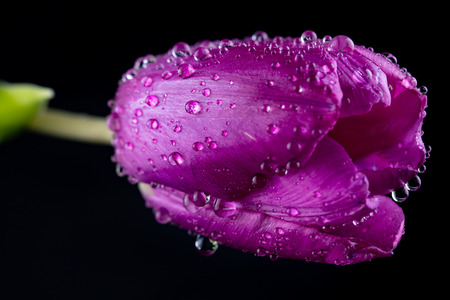 A beautiful wet tulip in a vase. Water drops on flower petals Dark background.