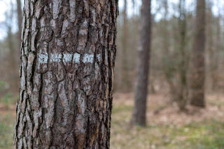 Markings on the bark of a coniferous tree in the forest. White line on the trunk of a tree. Season of the spring.