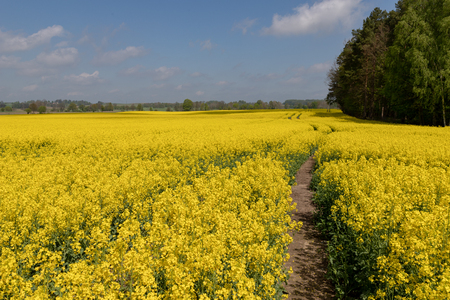 A beautiful rape flower in the field. A view of the huge canola field. Season of the spring.